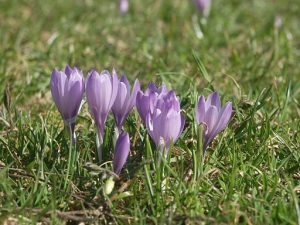 Purple crocuses growing in grass