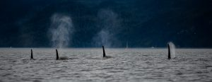 Photo of a pod of orcas, you can see water coming from their blowholes.