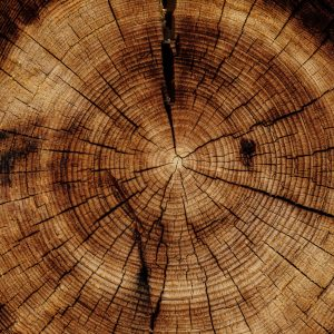 Photo of a tree trunk cut open to reveal the inner tree rings